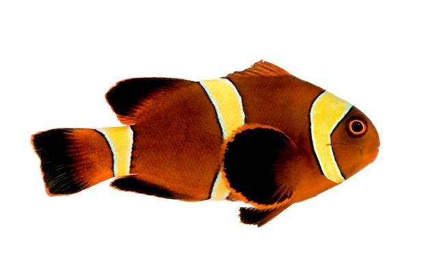 Pesce pagliaccio marrone rossiccio della banda dell'oro - premnas biaculeatus su bianco