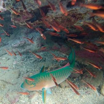 Pesce pappagallo con un altro piccolo pesce che nuota sott'acqua, bartolome island, isole galapagos, ecuador