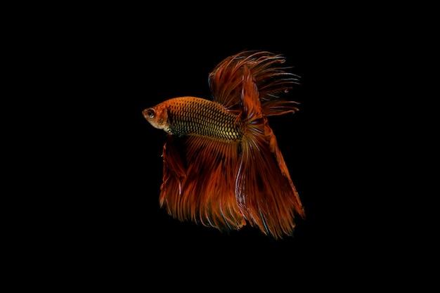 Pesce rosso di combattimento isolato sul nero.