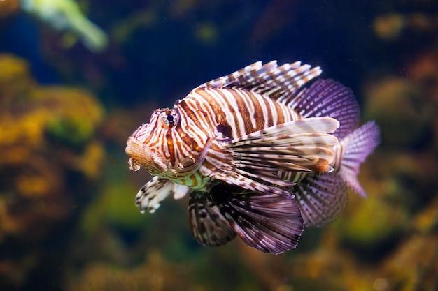 Pesce rosso di leone