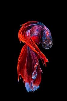 Pesce rosso e blu di betta, pesce siamese di combattimento su fondo nero