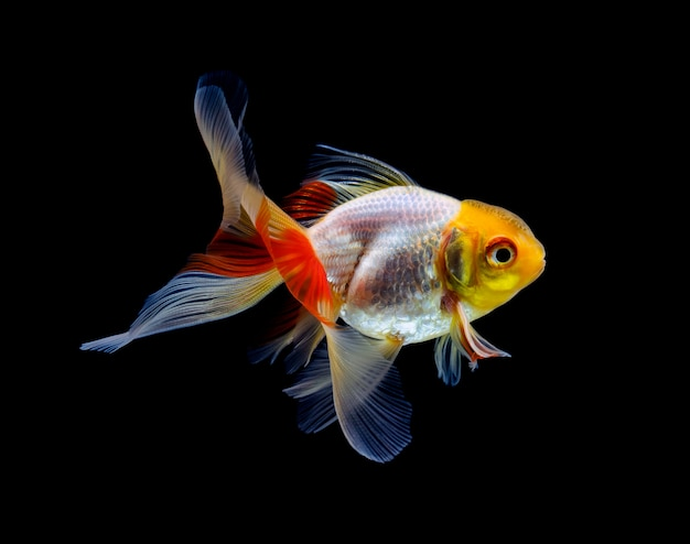 Pesce rosso isolato su oscurità