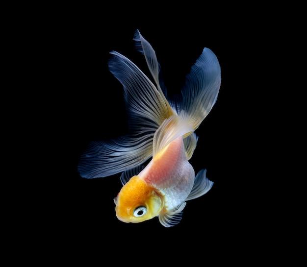 Pesce rosso isolato su un nero scuro