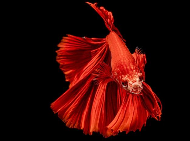 Pesce rosso siamese di combattimento infornato