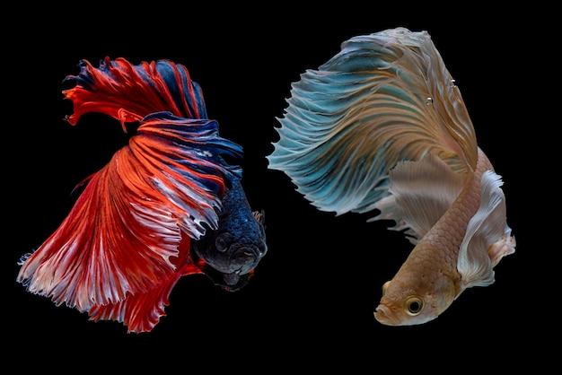 Pesci da combattimento siamesi multicolore, pesci da combattimento, splendens di betta