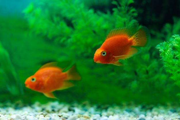 Pesci di cichlid del pappagallo rosso sangue nell'acquario