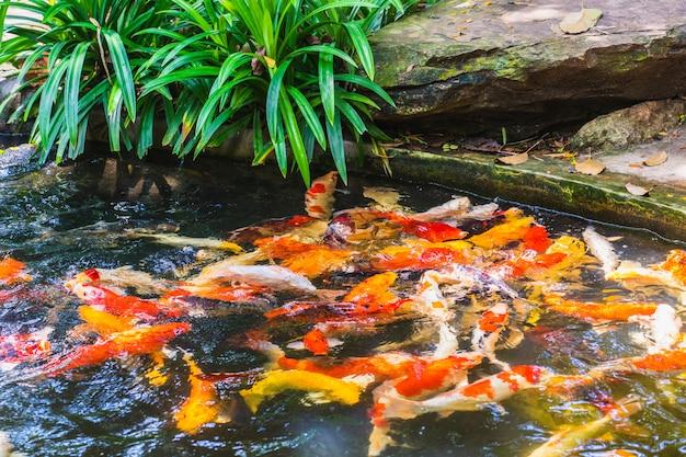 Pesci di koi che nuotano felicemente nello stagno e benedetti in natura