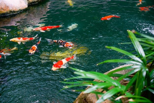 Pesci di koi nel giardino giapponese trovato