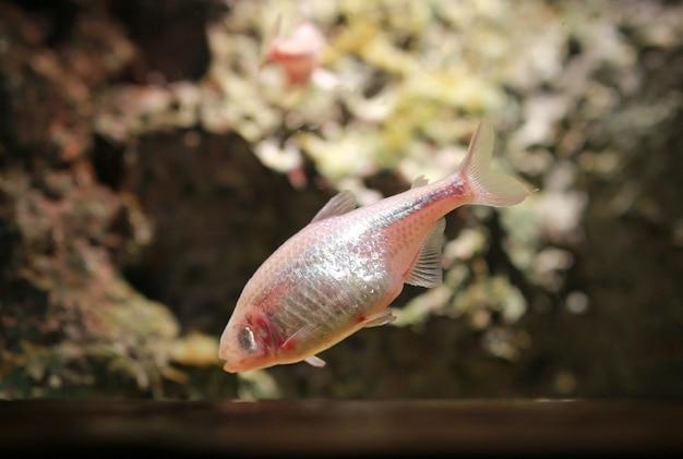Pesci di tetra dell'acquario del tetra messicano cieco