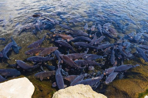 Pesci neri della carpa nello stagno di oshino hakkai, yamanashi, giappone
