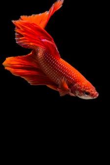 Pesci rossi di betta, pesce siamese di combattimento su fondo nero