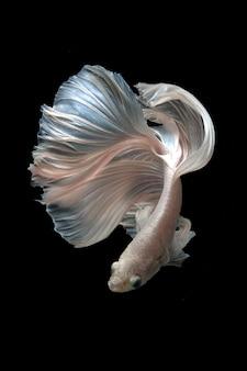 Pesci siamesi di betta su fondo nero