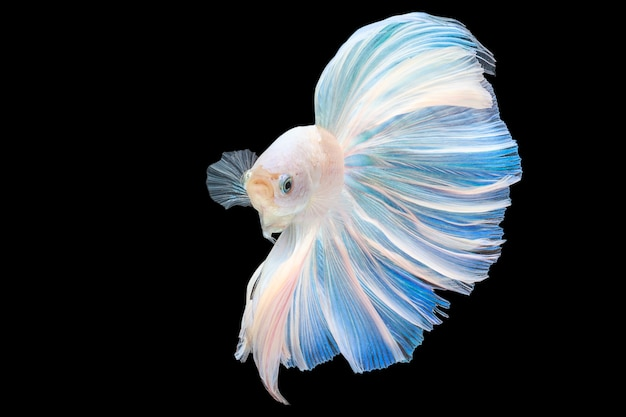 Pesci siamesi di combattimento di betta del platino della coda della mezza luna con fondo nero con il ritaglio pa