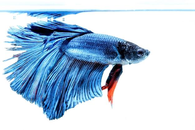 Pesci siamesi di combattimento isolati su fondo bianco