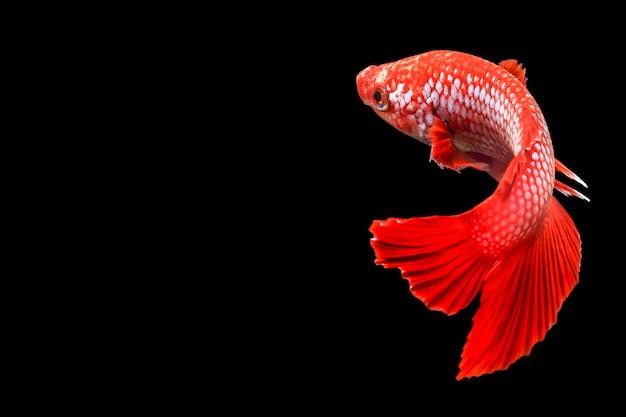 Pesci siamesi di combattimento, splendens di betta, tailandia