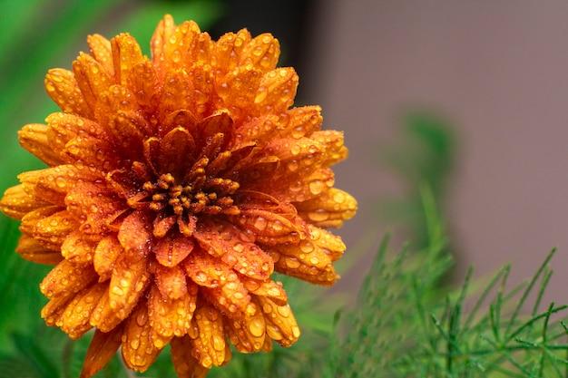 Petali a macroistruzione e polline di bello fiore arancione con gocce di acqua.