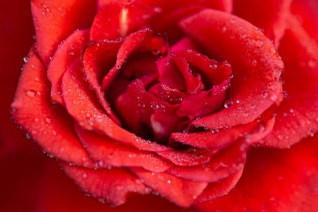Petali di rosa con la rugiada del mattino