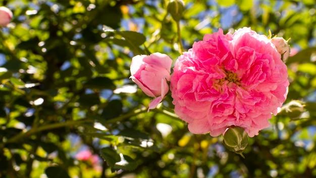 Petali di rosa del primo piano all'aperto