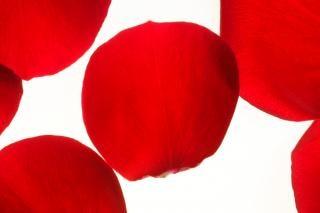 Petali di rosa, fiore, isolato