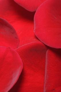 Petali di rosa, fiore s