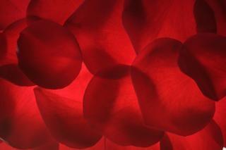 Petali di rosa occasionale san valentino
