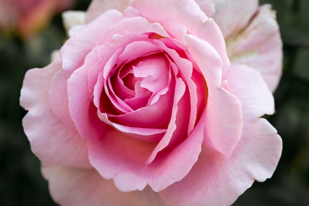 Petali di rosa rosa si chiudono