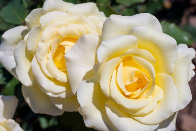 Petali di rose bianche del primo piano all'aperto