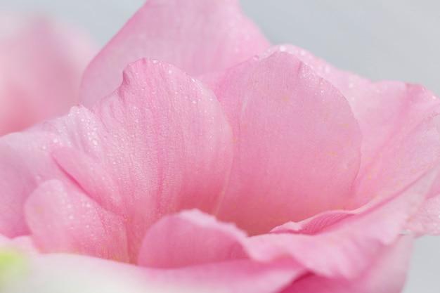 Petali rosa delle rose su fondo grigio