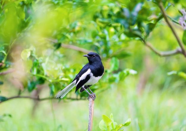Pettirosso della gazza orientale, copularus saularis, stiva di uccello