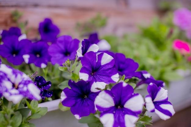 Petunie bianche in fiore in vasi d'arancia, appese a una corda nel mercato dei fiori. il paesaggio floreale porta un tripudio di colori nelle strade della città, ai letti della città con fiori, responsabilità ambientale