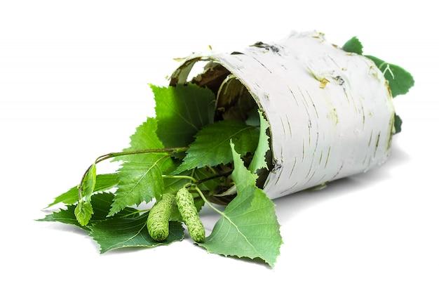 Pezzo contorto di corteccia di betulla con rami verdi