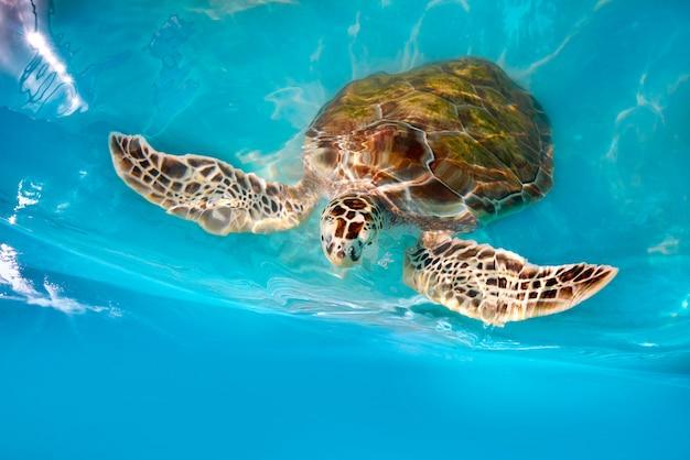 Photomount delle tartarughe in acqua caraibica
