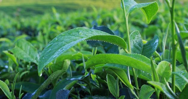 Photoshoot del giardino del tè naturale