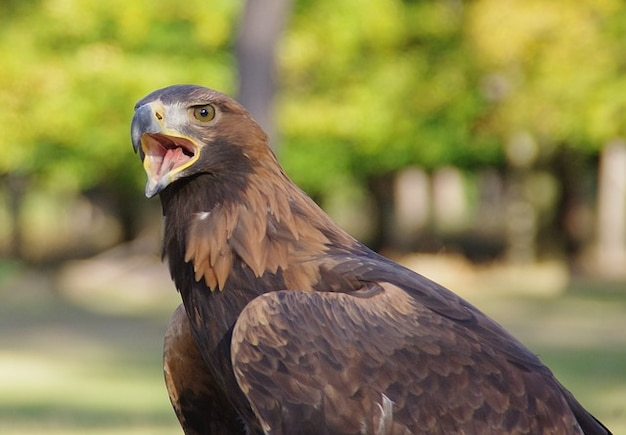 Piangere raptor uccello vicino aquila dorata conto adler
