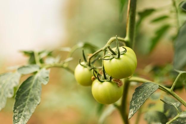 Pianta biologica con pomodori acerbi