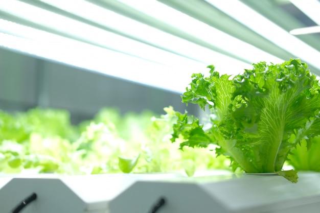 Pianta che cresce in una fattoria indoor intelligente con luce a led artificiale. fito lampada per piantina e coltivazione