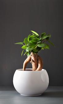 Pianta da appartamento ficus microcarpa ginseng in vaso di fiori bianco