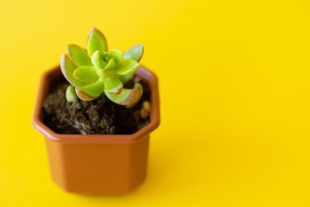 Pianta da appartamento in vaso su un giallo brillante