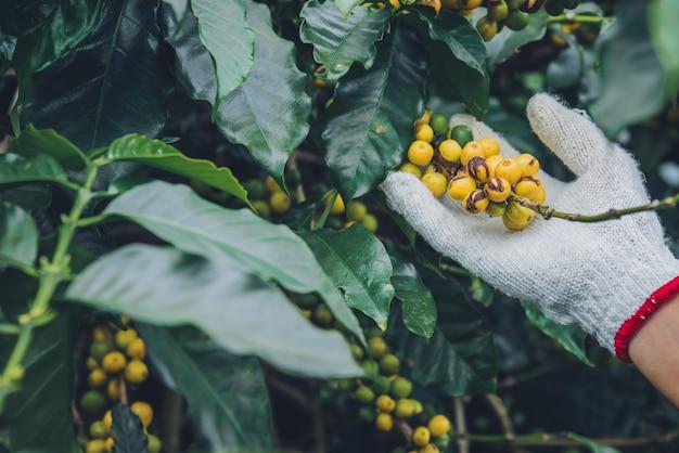 Pianta del caffè con chicchi di caffè nella piantagione di caffè, come raccogliere i chicchi di caffè. lavoratore raccogliere i chicchi di caffè arabica.