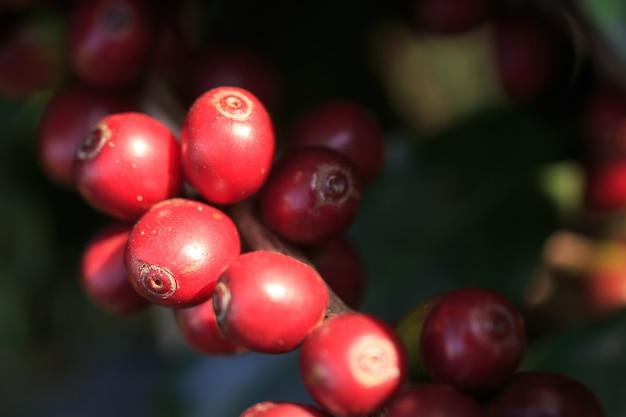 Pianta del caffè con chicco di caffè sulla piantagione di caffè