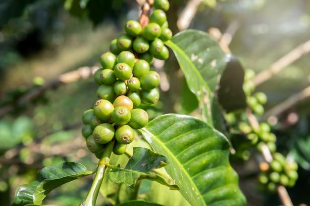 Pianta del caffè con le bacche di caffè verde sulla piantagione di caffè.