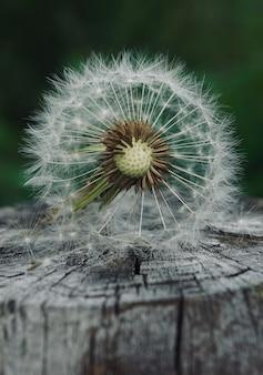 Pianta del fiore del dente di leone di estate nella natura