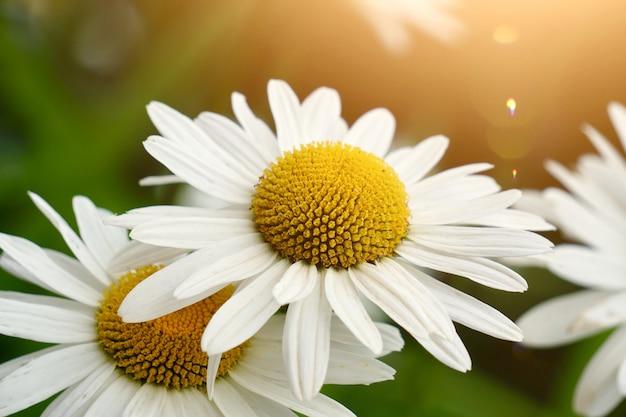 Pianta del fiore della margherita bianca di estate nella natura