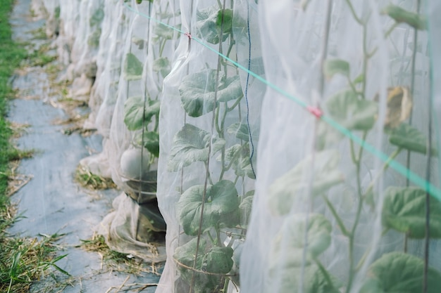Pianta del melone che cresce nella serra in azienda agricola