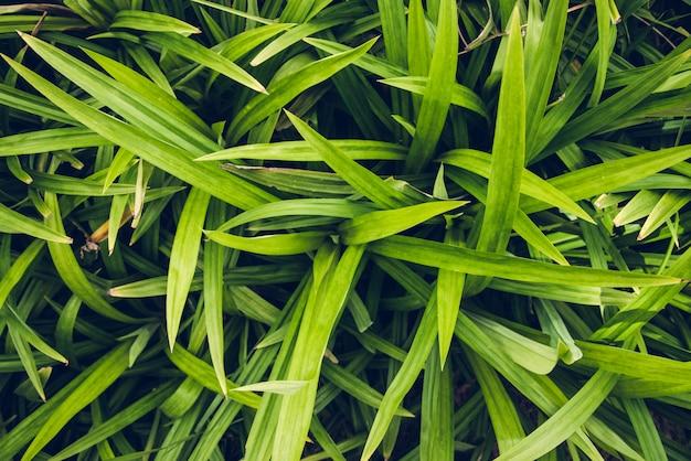 Pianta del pandanus per la cottura e la medicina di erbe in tailandia