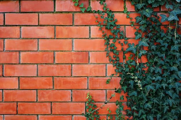 Pianta dell'edera su un muro di mattoni rosso.