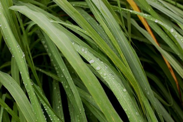 Pianta dell'erba della citronella con rugiada in giardino