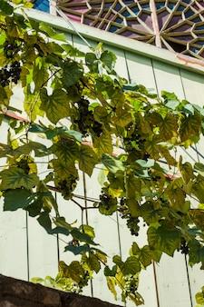 Pianta dell'uva nella vecchia tbilisi