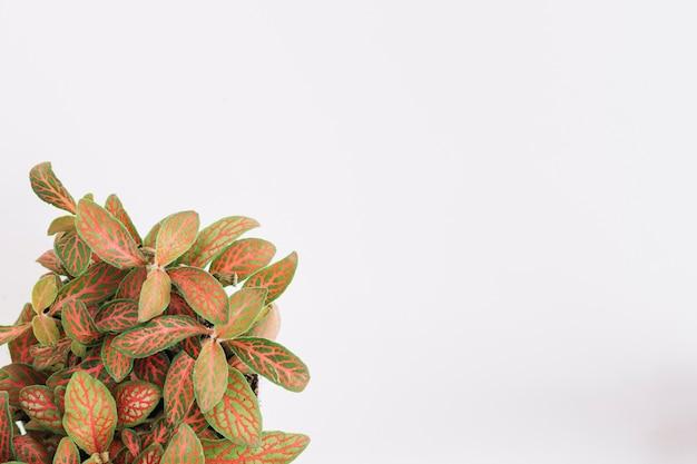 Pianta delle foglie verdi e di rosso su fondo bianco
