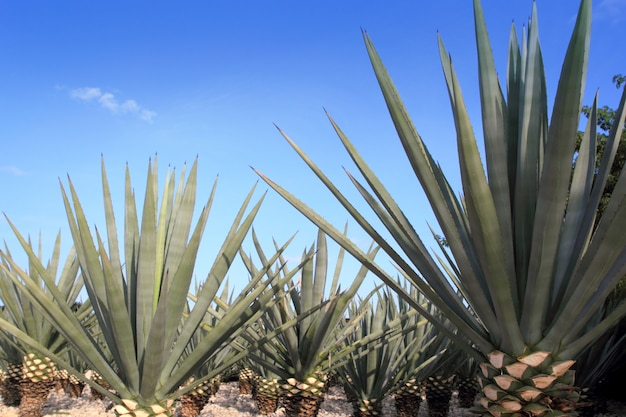Pianta di agave tequilana per liquore messicano di tequila